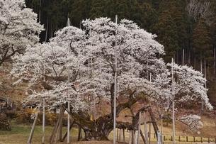 根尾谷淡墨桜の写真素材 [FYI04485910]