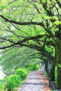 神奈川県 水無川の新緑並木トンネルの写真素材 [FYI04485940]