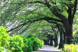 神奈川県 水無川の新緑並木トンネルの写真素材 [FYI04485945]