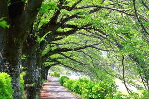 神奈川県 水無川の新緑並木トンネルの写真素材 [FYI04485966]