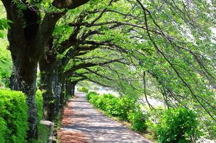 神奈川県 水無川の新緑並木トンネルの写真素材 [FYI04485967]