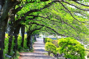神奈川県 水無川の新緑並木トンネルの写真素材 [FYI04485969]