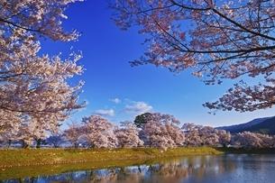 六道の堤の桜の写真素材 [FYI04486024]