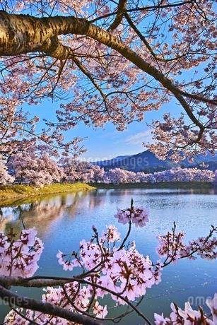 六道の堤の桜の写真素材 [FYI04486025]