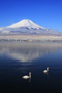 白鳥遊ぶ山中湖と日本100名山冬の富士山の写真素材 [FYI04486244]