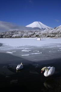 白鳥遊ぶ山中湖と日本100名山冬の富士山の写真素材 [FYI04486248]