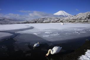 白鳥遊ぶ山中湖と日本100名山冬の富士山の写真素材 [FYI04486249]