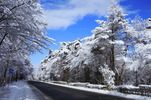 山中湖脇を通る国道138号沿いの雪化粧した樹木の写真素材 [FYI04486250]