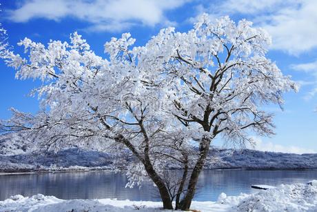 山中湖畔を通る国道138号沿いの雪化粧した樹木の写真素材 [FYI04486251]
