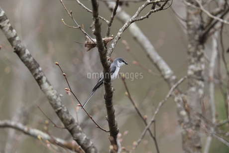 枝にとまるサンショウクイの写真素材 [FYI04486266]