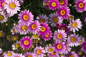 競いながら重なりながら咲く赤いマーガレットの花々の写真素材 [FYI04486273]