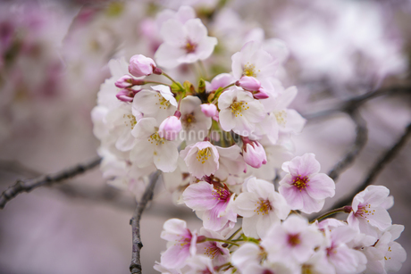 権現堂桜堤の桜のアップの写真素材 [FYI04486314]