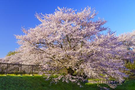 権現堂桜堤の桜の写真素材 [FYI04486315]