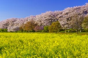 権現堂桜堤の桜と菜の花の写真素材 [FYI04486319]