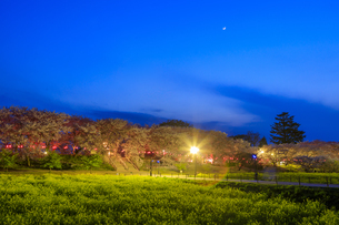 権現堂桜堤の桜と菜の花の写真素材 [FYI04486340]