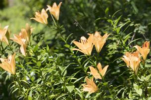 ユリの花の写真素材 [FYI04486422]