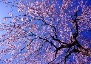 三島大社の桜の写真素材の写真素材 [FYI04486428]