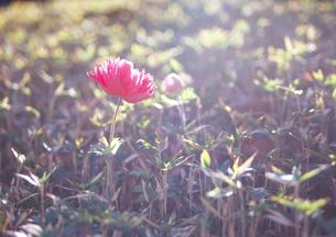 クレマチスの丘に咲く花の写真素材の写真素材 [FYI04486429]