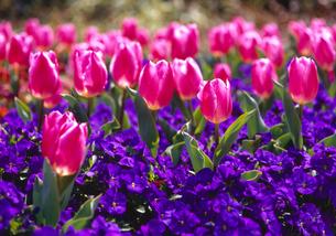 安城産業文化公園デンパークに咲くチューリップの写真素材の写真素材 [FYI04486430]