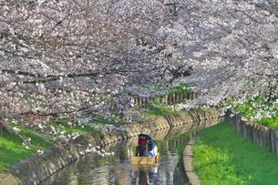 埼玉県 川越市 新河岸川と桜並木の写真素材 [FYI04486510]