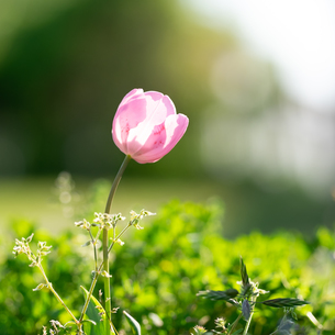 江南フラワーパークの花素材_03の写真素材 [FYI04486559]