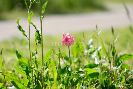 江南フラワーパークの花素材_08の写真素材 [FYI04486569]