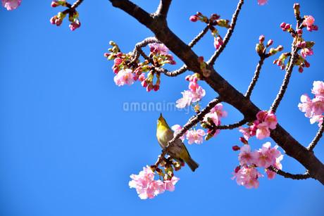伊豆の土肥桜とメジロの写真素材 [FYI04486593]