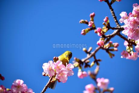 伊豆の土肥桜とメジロの写真素材 [FYI04486594]