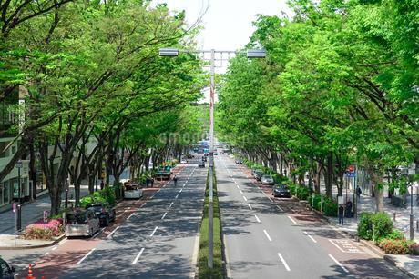 表参道 新緑のケヤキ並木の写真素材 [FYI04486598]