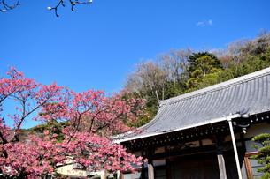 伊豆の土肥桜の写真素材 [FYI04486602]