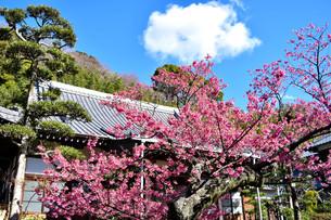 伊豆の土肥桜の写真素材 [FYI04486606]