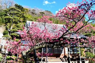伊豆の土肥桜の写真素材 [FYI04486608]