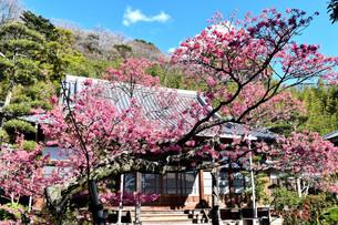 伊豆の土肥桜の写真素材 [FYI04486609]