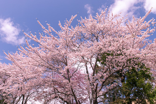北海道 札幌市郊外の満開の桜の写真素材 [FYI04486637]
