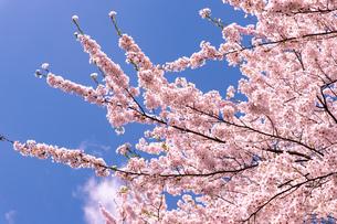 北海道 札幌市郊外の満開の桜の写真素材 [FYI04486639]