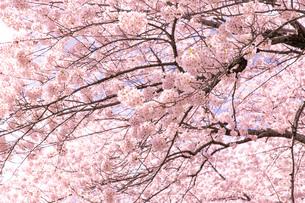 北海道 札幌市郊外の満開の桜の写真素材 [FYI04486649]