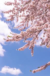 北海道 札幌市郊外の満開の桜の写真素材 [FYI04486652]