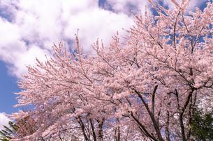 北海道 札幌市郊外の満開の桜の写真素材 [FYI04486654]