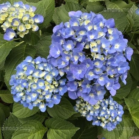 紫陽花の写真素材 [FYI04486772]
