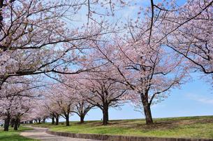 桜の遊歩道の写真素材 [FYI04486815]