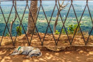 スリランカ・シーギリヤロックの犬の写真素材 [FYI04486825]