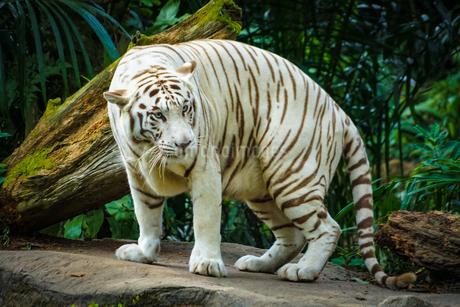 ジャングルに佇むホワイトタイガーの写真素材 [FYI04486877]