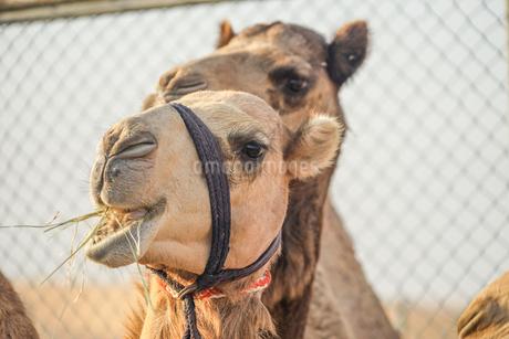 アラビア砂漠のラクダ(アラブ首長国連邦)の写真素材 [FYI04486938]