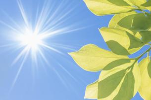 柿の葉の新緑と光芒の写真素材 [FYI04487024]