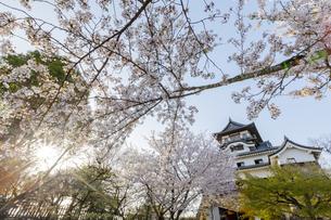 本丸庭園から桜と犬山城天守閣の写真素材 [FYI04487118]