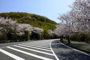満開の桜並木と赤穂御崎公園に通じる道路の写真素材 [FYI04487145]