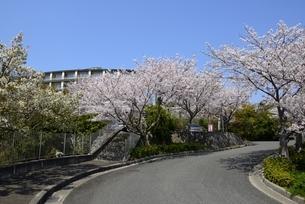 赤穂御崎公園と満開の桜の写真素材 [FYI04487151]