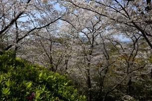 赤穂御崎散策路の満開の桜の写真素材 [FYI04487186]