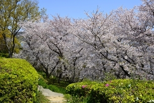 赤穂御崎散策路の満開の桜並木の写真素材 [FYI04487190]