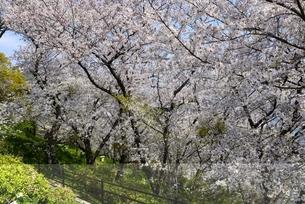 赤穂御崎散策路の満開の桜並木の写真素材 [FYI04487192]